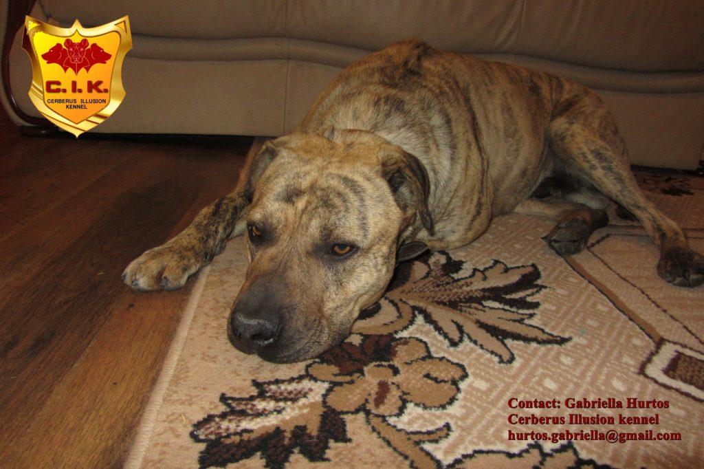 Conan Cerberus Illusion cimarron uruguayo dogs for sale Uruguajský Cimarron na predaj