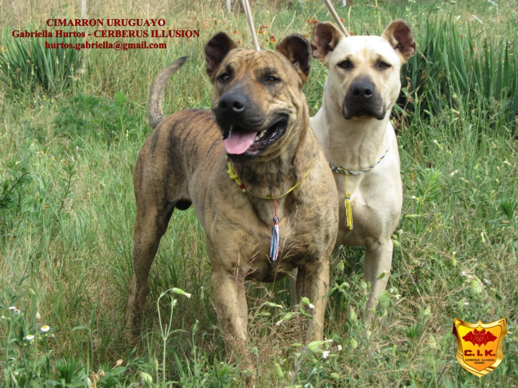 Cimarron Uruguayo - Cerberus Illusion - my dogs