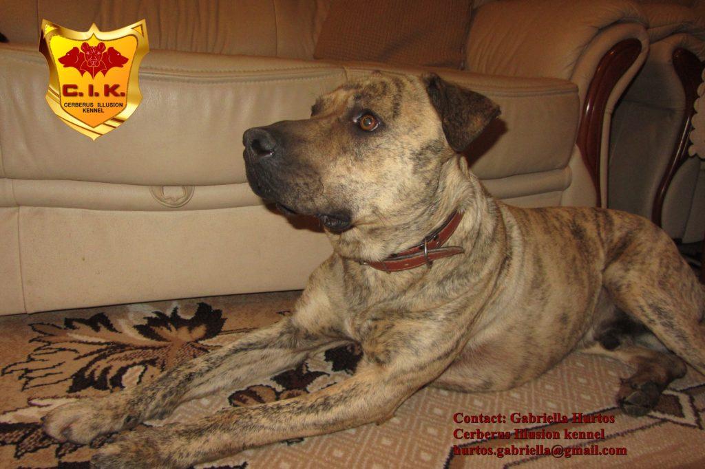 Cimarron Uruguayo - Conan Cerberus Illusion - dogs for sale