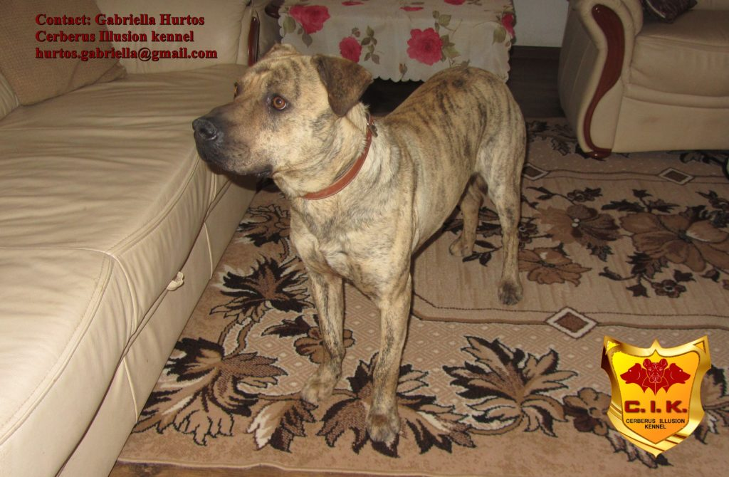 Cimarron Uruguayo - Conan Cerberus Illusion - dogs for sale
