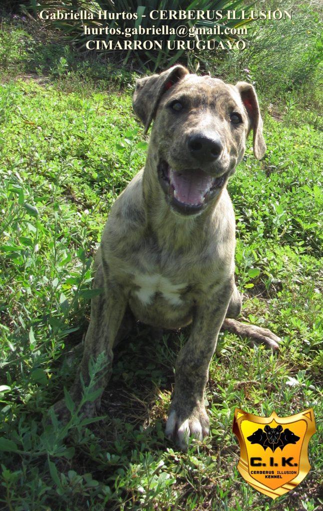 Beowulf Cerberus Illusion - cimarron uruguayo puppy