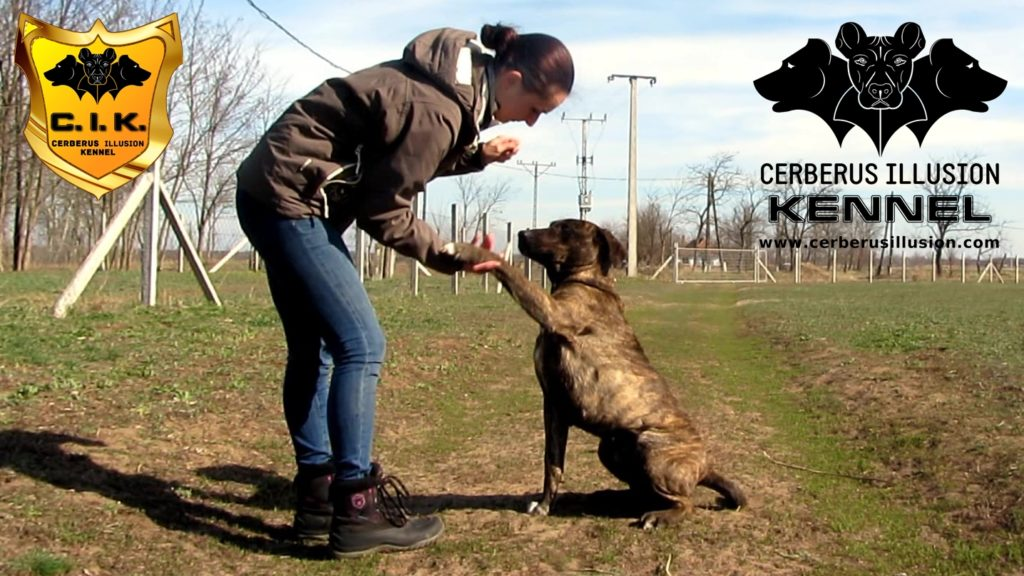 Belona Cerberus Illusion Cimarron Uruguayo how to train your puppy to give paw