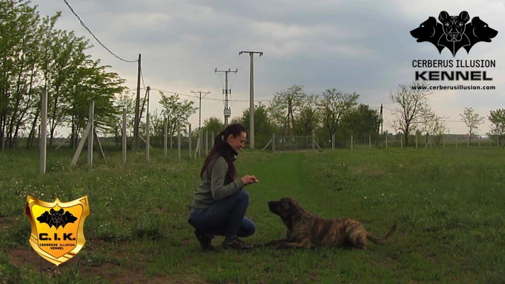 Anakin Cerberus Illusion Cimarron Uruguayo dog to lay down