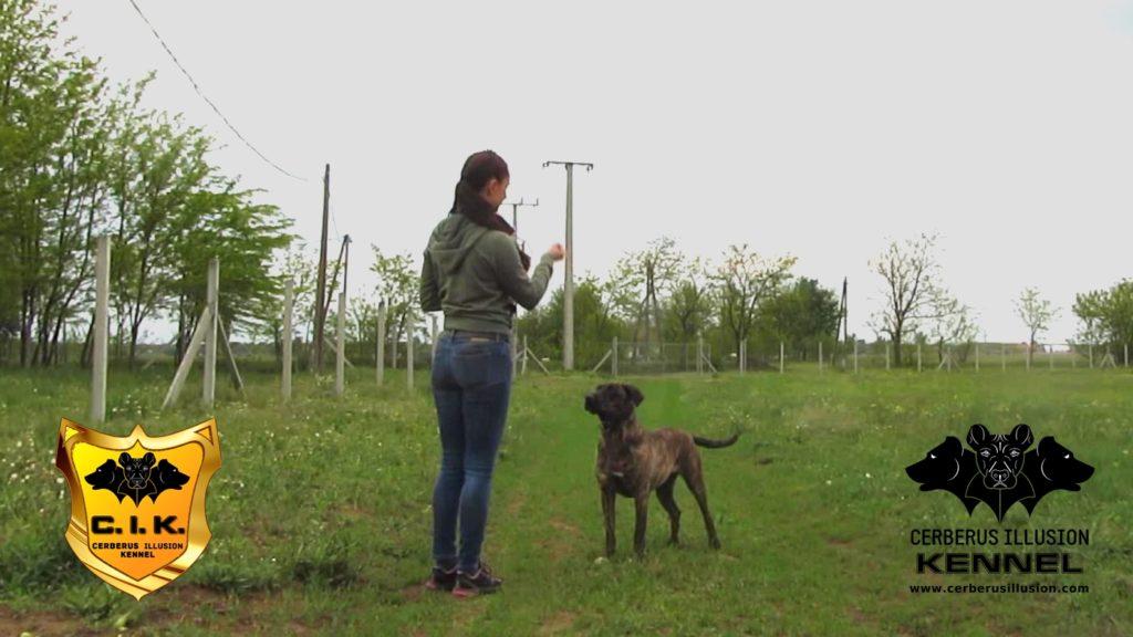 Belona Cerberus Illusion Cimarron Uruguayo dog to lay down