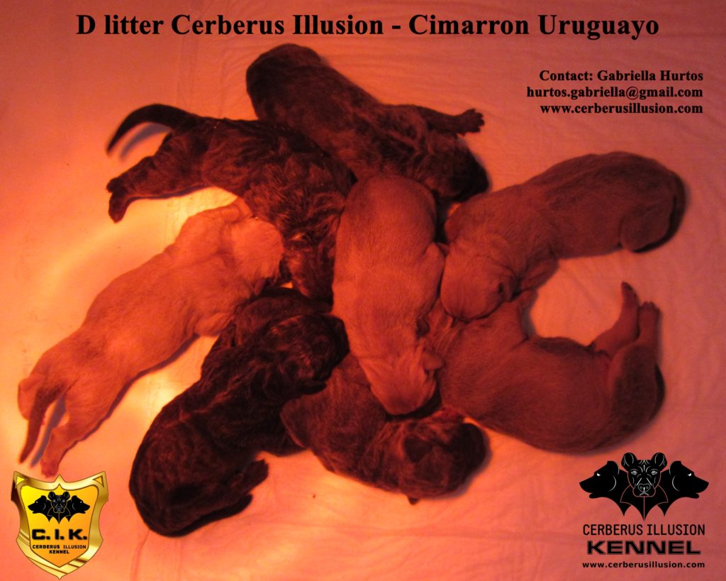 D litter Cerberus Illusion Cimarron Uruguayo