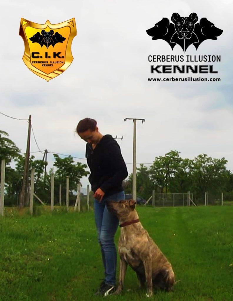 beowulf cerberus illusion cimarron uruguayo dog to heel k noze