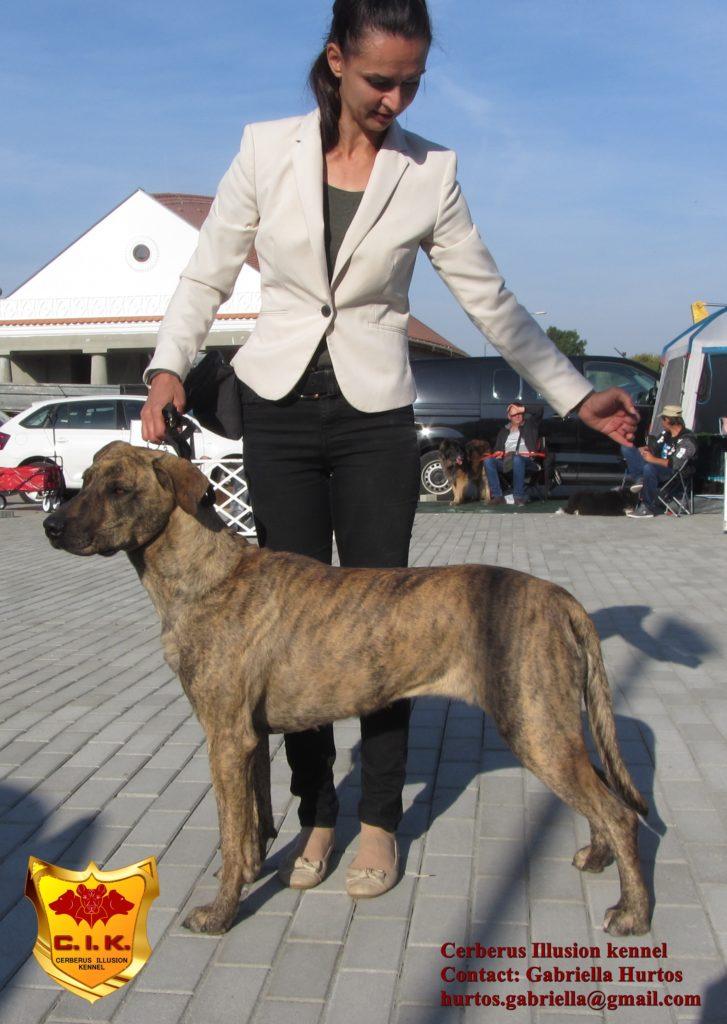 Cimarron Uruguayo Beulah Cerberus Illusion Novice Trick Dog Stacking
