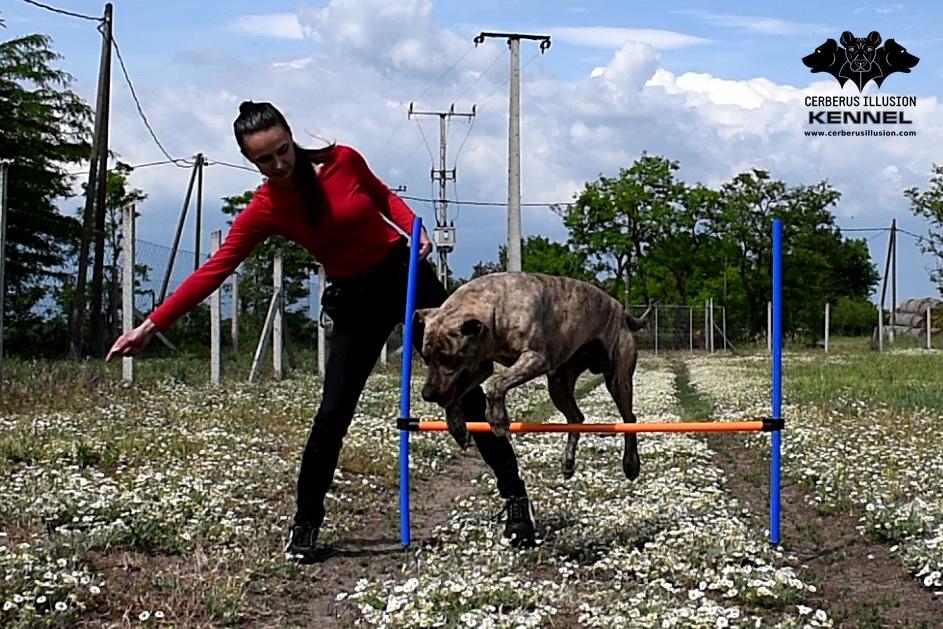 jump wraps Cimarron Uruguayo Cerberus Illusion osem