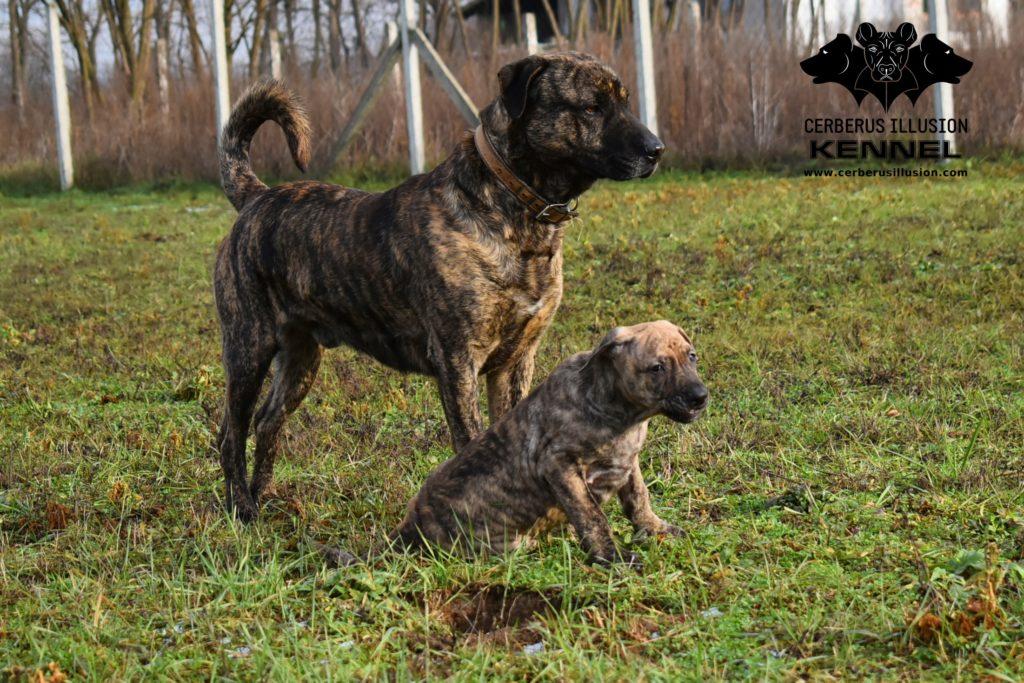 Cimarron Uruguayo puppy for sale Anakin Enekin Cerberus Illusion Cimarron Uruguayo