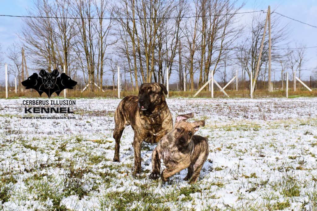 Cimarron Uruguayo puppy for sale Enekin Cerberus Illusion