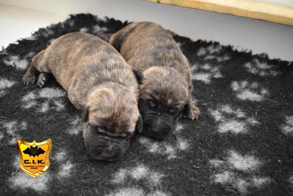 Puppies Cerberus Illusion